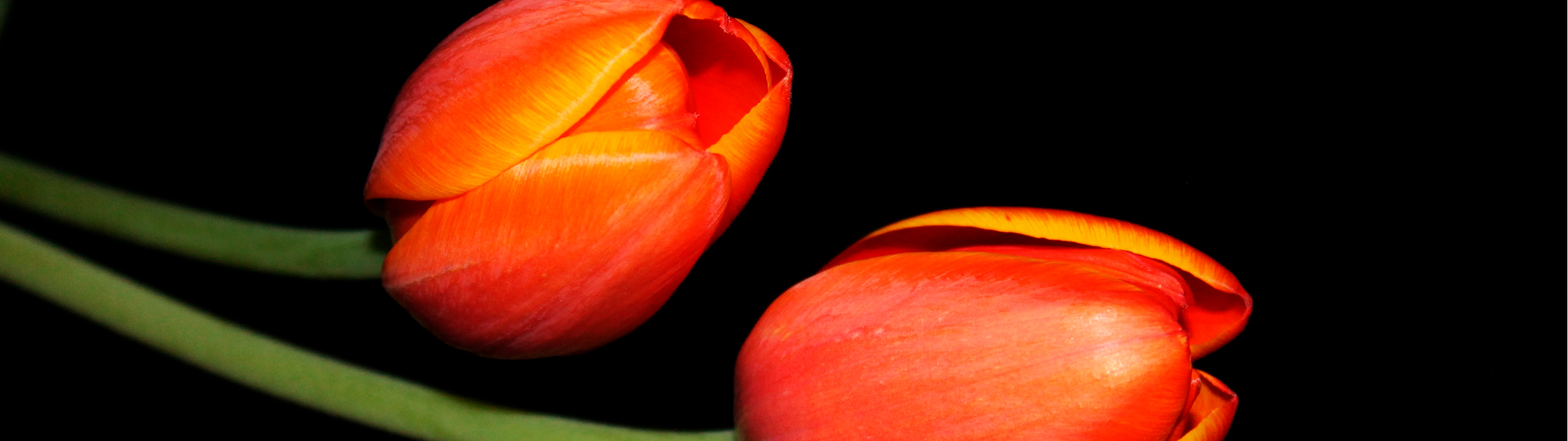 layer-slider-tulips-bloomingvision